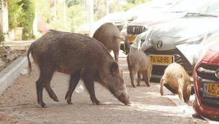 חזירים. מסוכנים