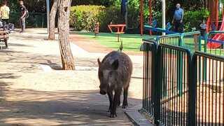 חזיר בר בגן יוכבד